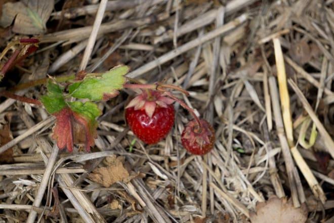 Erdbeerreste