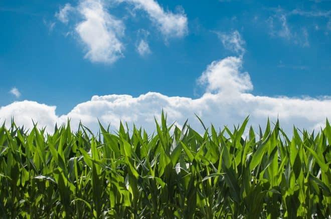 Landleben mit Maisfeld