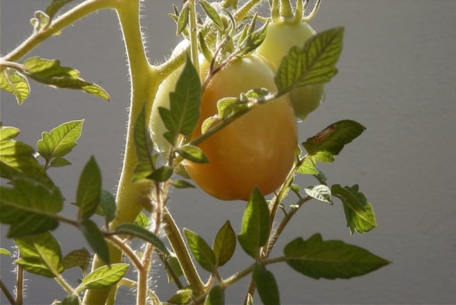 Tomate im Solomodus