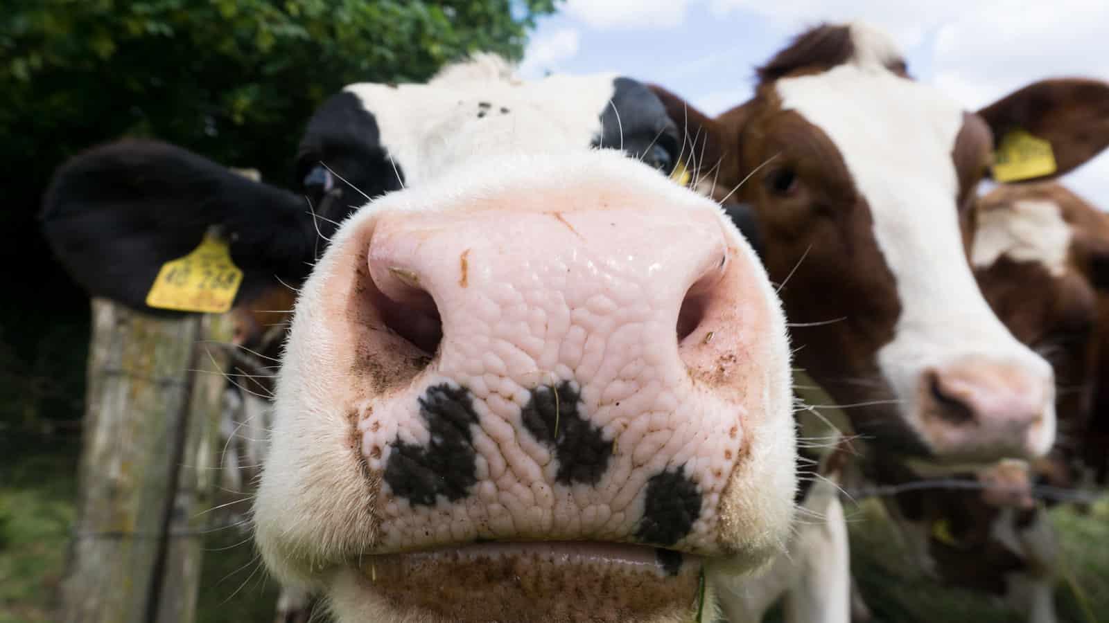 Hobbys: Kühe und Melken