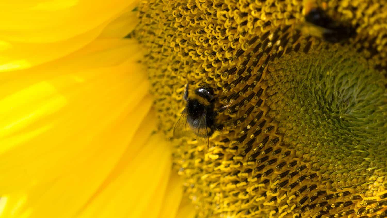 Bienen ohne Interesse für Schnapszahlen
